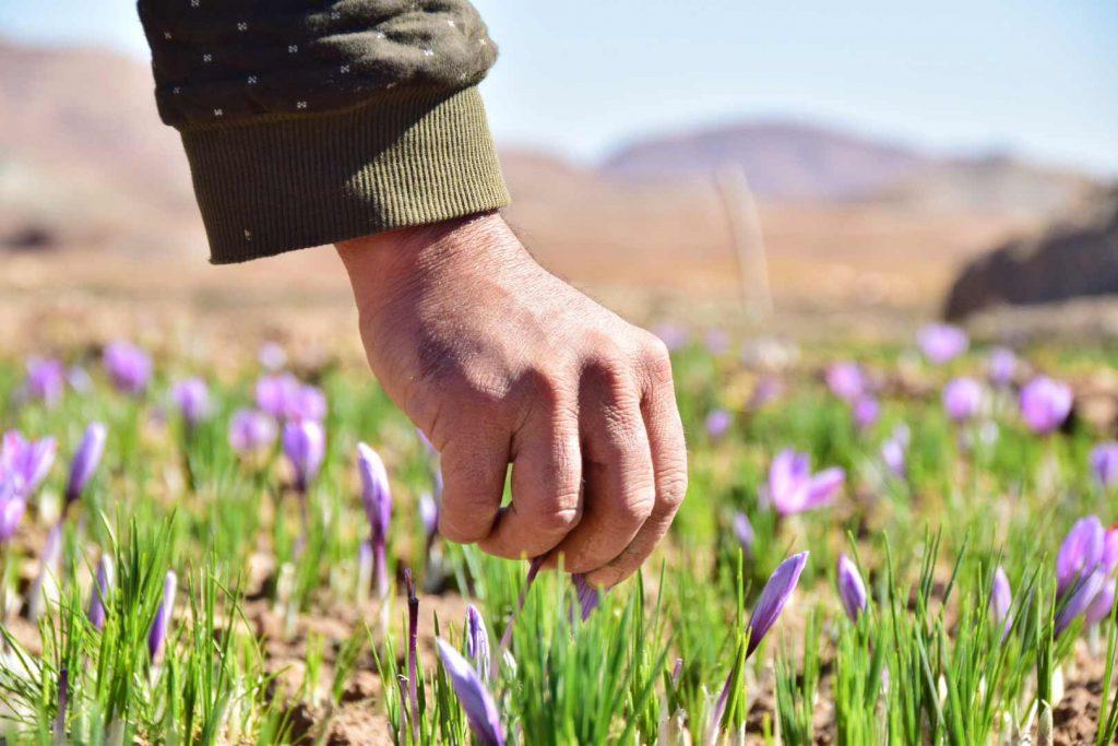 آنچه که درباره کاشت زعفران باید بدانید