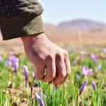 مصرف زعفران چه بیماریهایی را از بین می برد؟